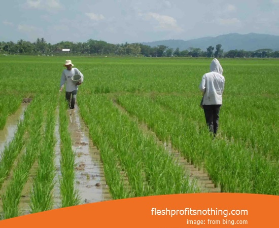 New Varieties Of Seedlings Rice Serve 9 46 70 Harvest Day