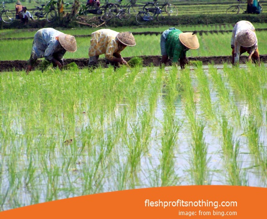 Price Seedlings Rice Of Jetro From Aceh Best
