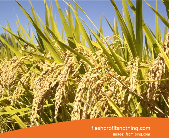 Price Seed Rice Of Sergi 9 3s Online