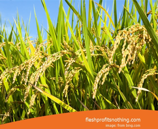 Price Seed Rice Of Wisanggeni 42 New