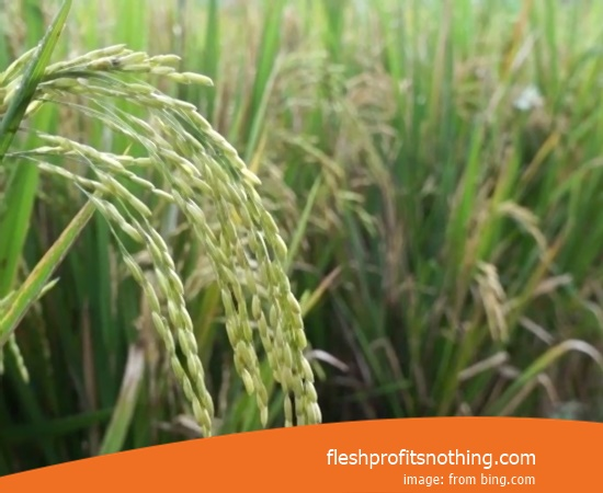 New Varieties Of Seedlings Rice Najua Arize Height 2 meters