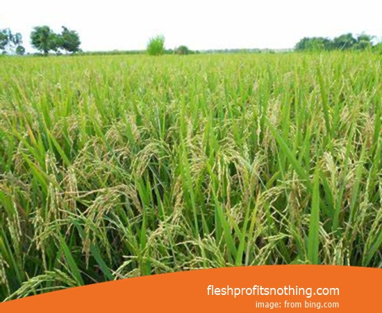 Type Of Seed Rice M400 Cibogo 100 Harvest Day