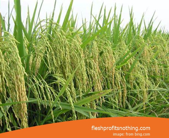 New Varieties Of Seedlings Rice Mountain Ciherang Janger Superior type