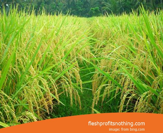 New Varieties Of Seedlings Rice Logawa Premium Japonica Most Fast Harvest