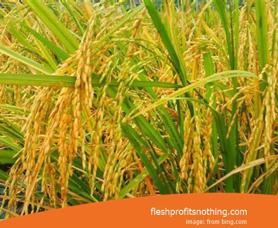 New Varieties Of Seedlings Rice Wilis Ciherang Janger 2 Month Harvest