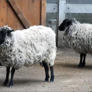 Just Like Sheep