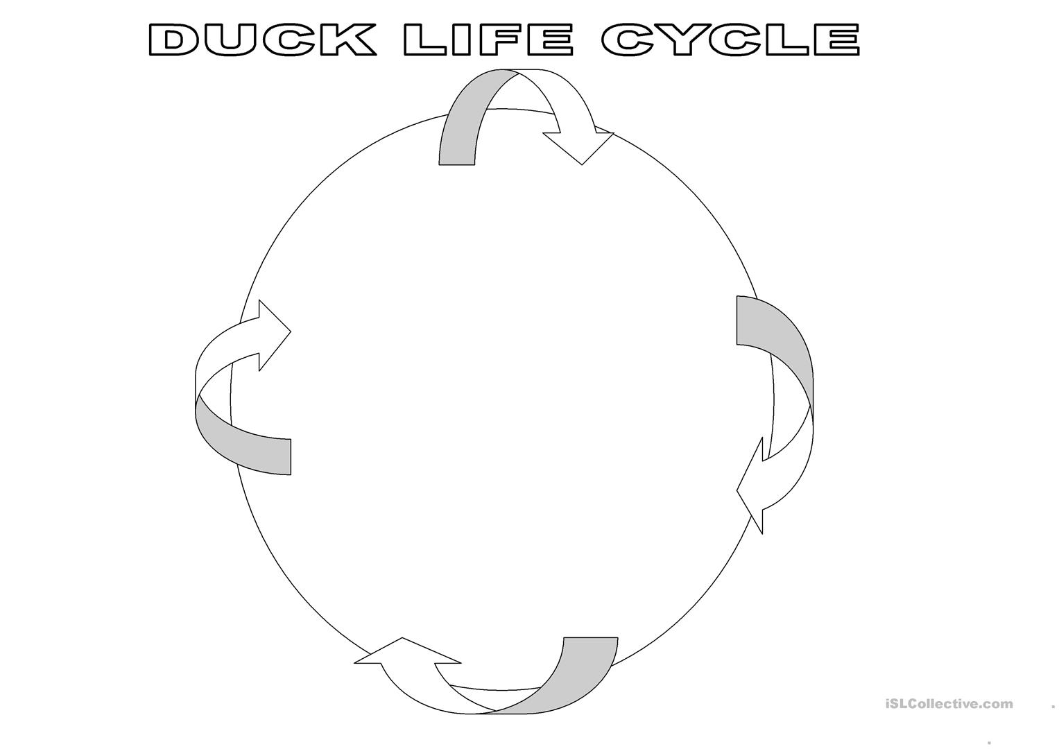Duck Life Cycle Worksheet