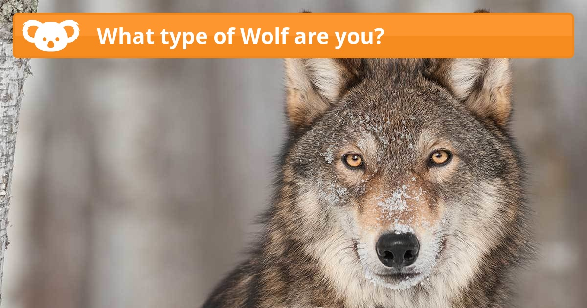 What type of Wolf are you  Koala Quiz