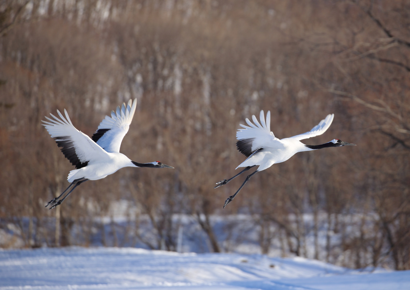 A living monument of Kushiro—what are tancho cranes?