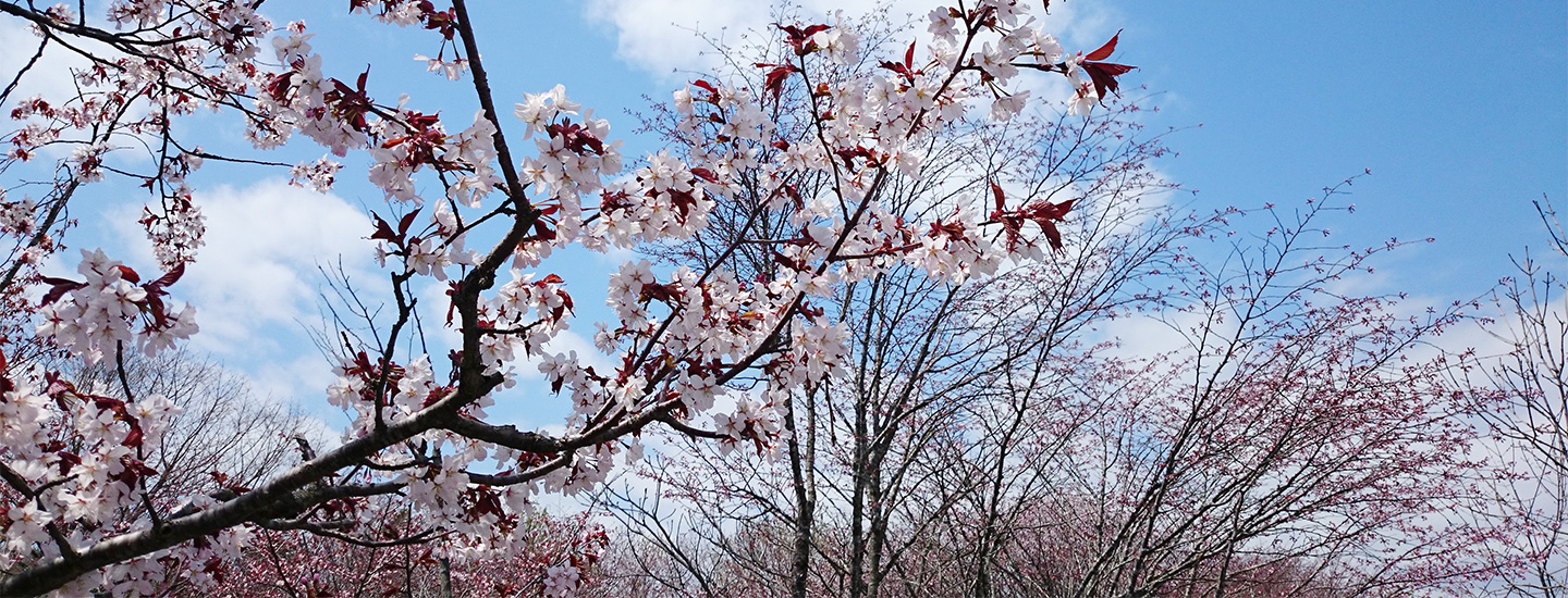 Head out to view Kushiro's cherry blossoms, the final bloom in all of Japan!