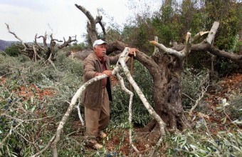 Jewish Settlers Cut Dozens of Palestinian Olive Trees