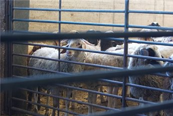 BRUCELLOSIS OUTBREAK HITS 130 CASES IN WEST BANK