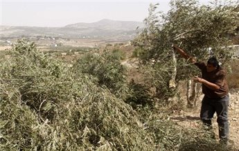 ISRAELI FORCES UPROOT 300 OLIVE TREES IN NABLUS
