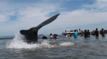 People Band Together in Desperate Effort to Save Pod of Beached Whales in Indonesia