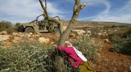 Israel Demolishes 100 Years Old Palestinian Olive Fields