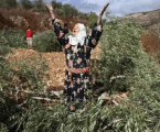 Palestinian Farmers Attacked and Their Olive Stolen by Jewish Settlers