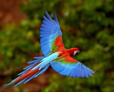 farbenprächtige Vogelarten im Manu National Park