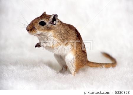 沙鼠-照片素材(圖片) [6336828] - PIXTA圖庫
