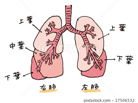 폐의 구조 (문자 수) - 스톡일러스트 [17506532] - PIXTA