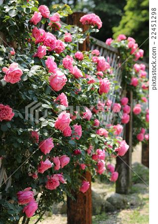 rose leonardo da vinci