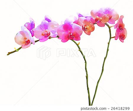 生動的豪華手寫水彩內部視圖白色背景:蝴蝶蘭花花-插圖素材 [26418299] - PIXTA圖庫