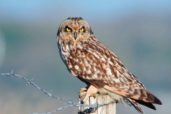 Short-eared Owl (Asio flammeus) © M. Vaslin – LPO