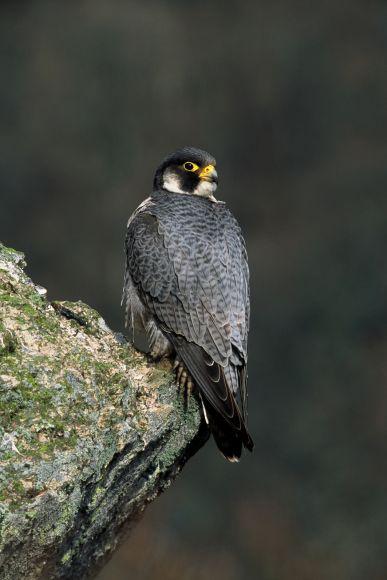 Peregrine (Falco peregrinus) © C. Aussaguel