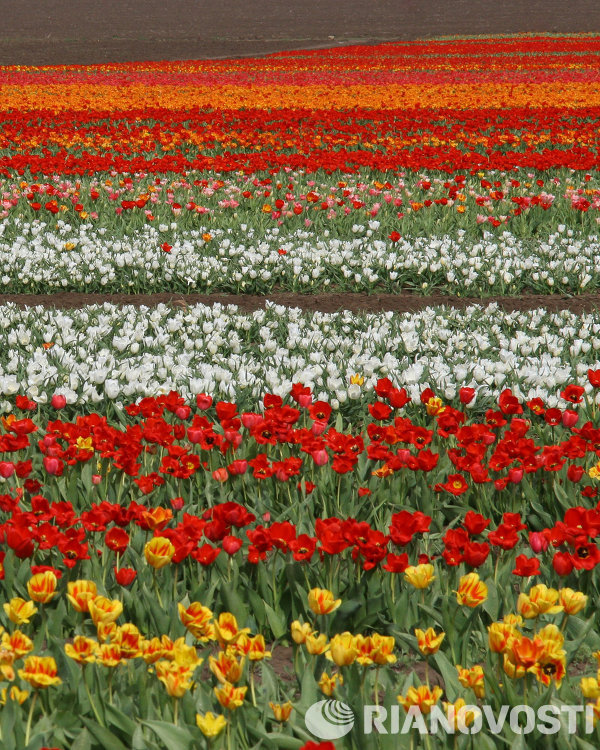 Tulip field in Crimea.
