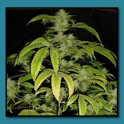 Banana Kush Flowering Cannabis Plant | Gardening: Flower and Vegetables