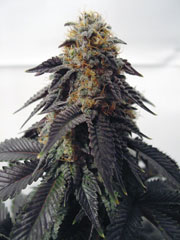 Blue Satellite 22 by Spice of Life Seeds  SeedFinder  Strain Info