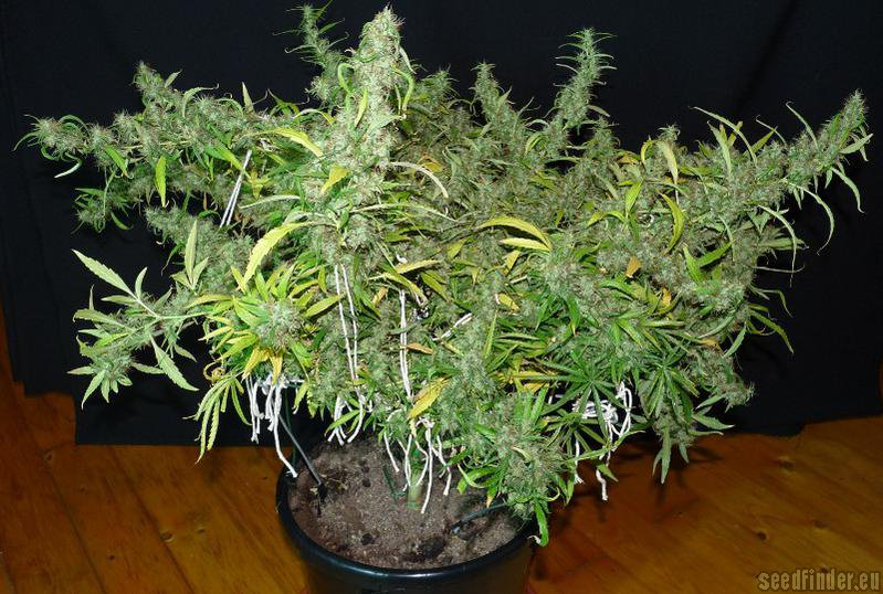 Golden Tiger ACE Seeds  Cannabis Strain Info