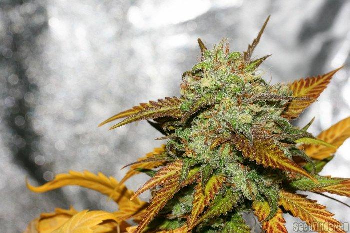 Sweet Pink Grapefruit Alpine Seeds Cannabis Strain Info
