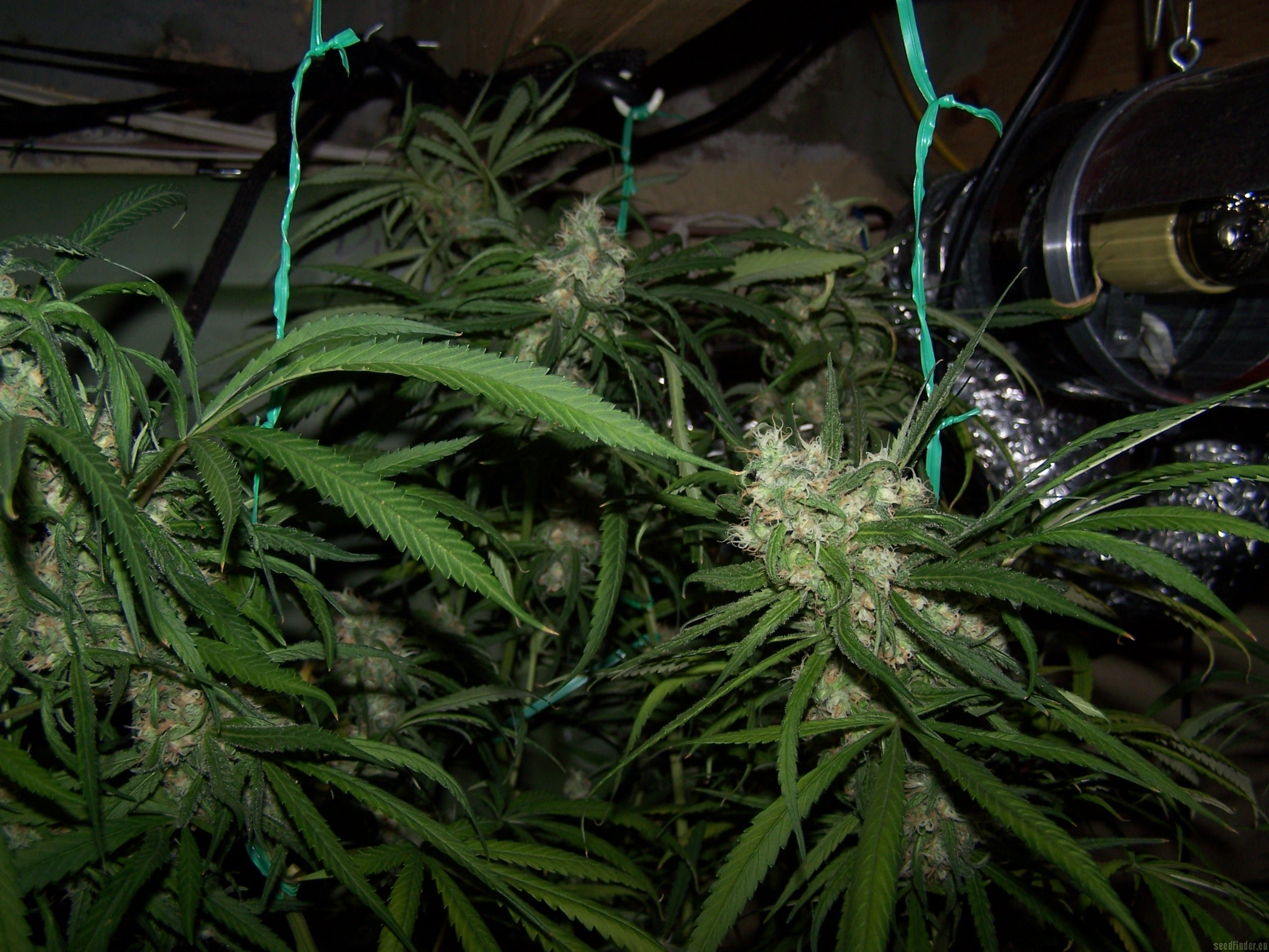 Info about the cloneonly cannabis strain Blue Dream  SeedFinder  Strain Info