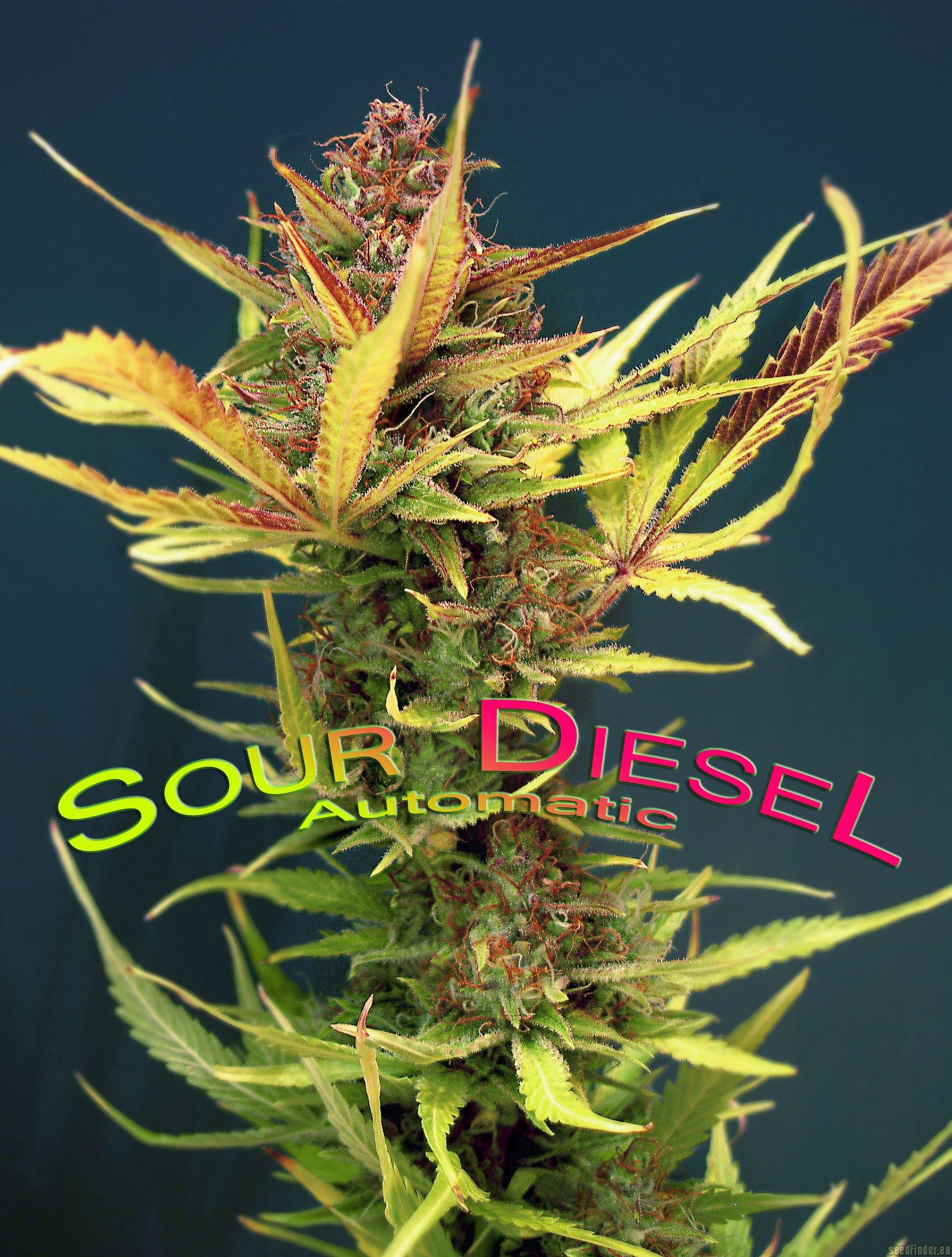 Sour Diesel Autoflowering by Dinafem  SeedFinder  Strain Info