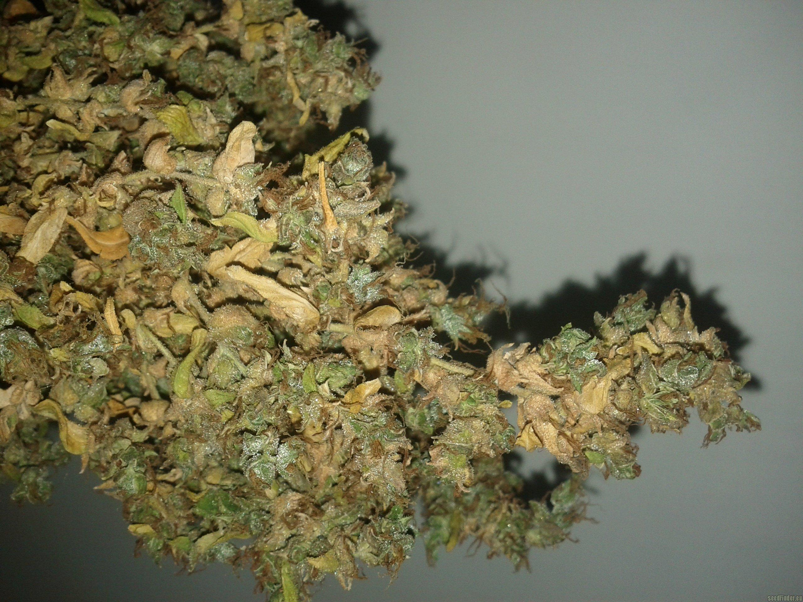 Mikromachine Kannabia Seeds  Cannabis Strain Info