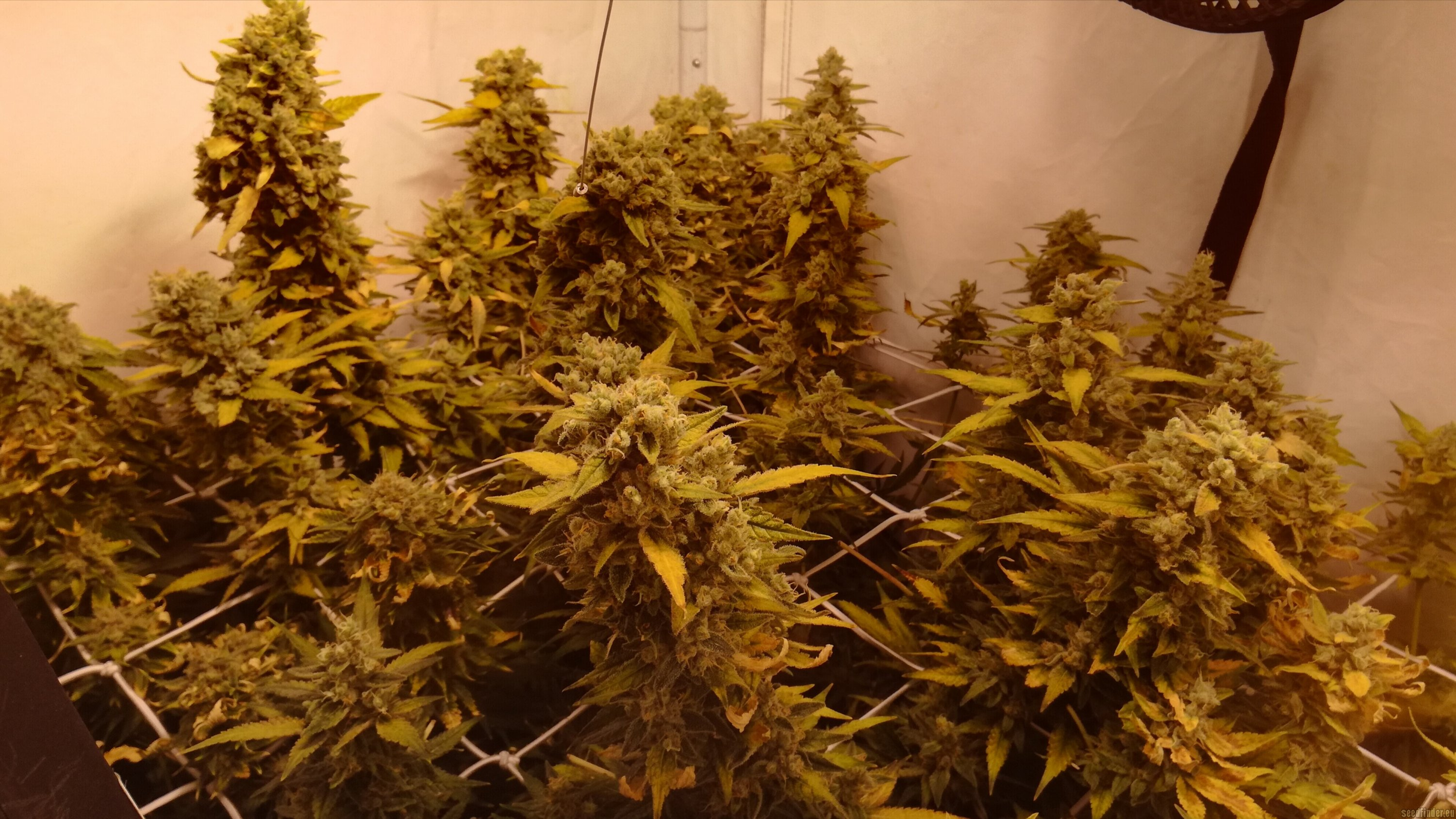 Wappa By Paradise Seeds Seedfinder Strain Info