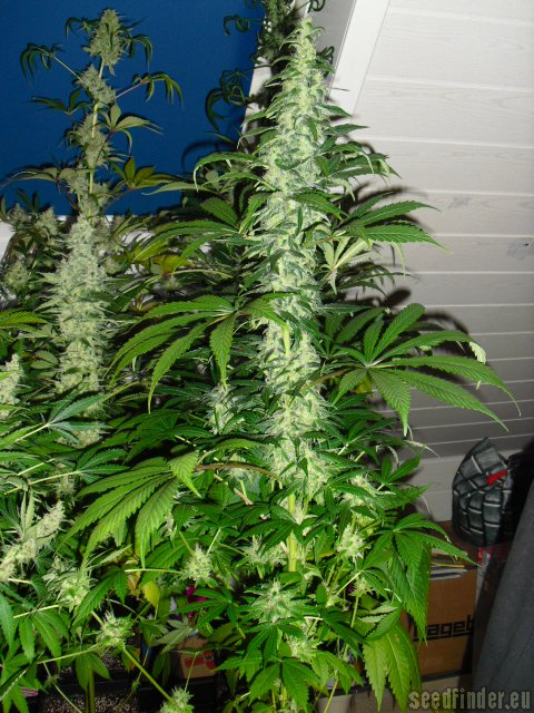 Northern Lights Cannabis Pictures
