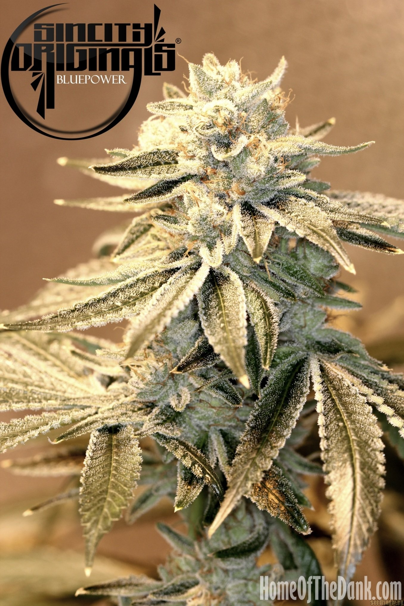 Blue Power by Sin City Seeds  SeedFinder  Strain Info