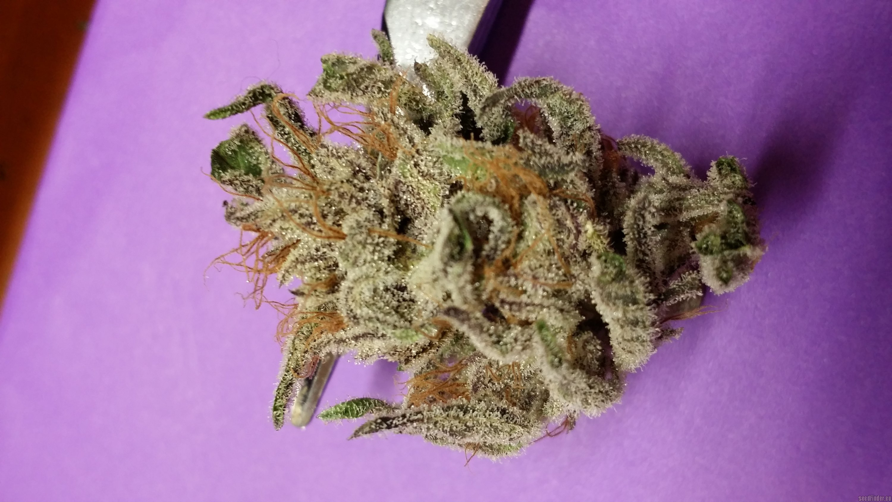 Info about the unknown or legendary cannabis strain Obama