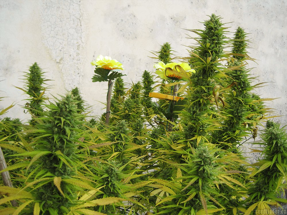 Chocoloco By Vision Seeds Seedfinder Strain Info