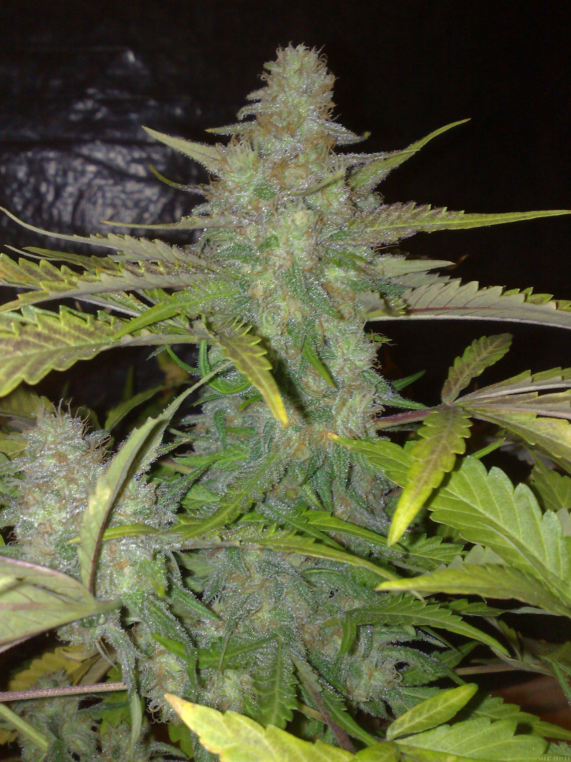 Northern Lights White Label  Cannabis Strain Info