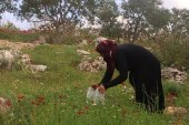 Wild herbs in the mountains of rural Idlib offer a source of livelihood to the poor