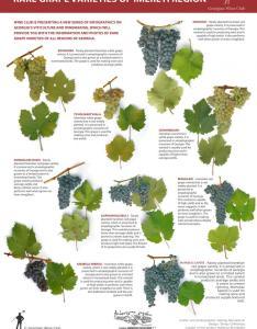 Rare grape varieties of imereti region  georgian wine infographics also archive nov marani rh ennoge