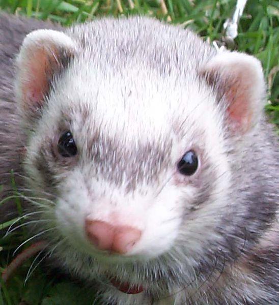 Ferret Wikifur The Furry Encyclopedia