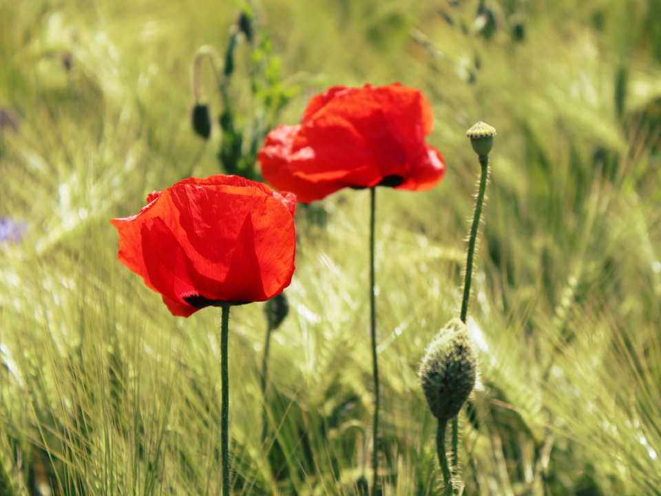 Wallpaper Full Color Hd Wallpaper Download Mohn Mohnblume Getreide Free Hd Download