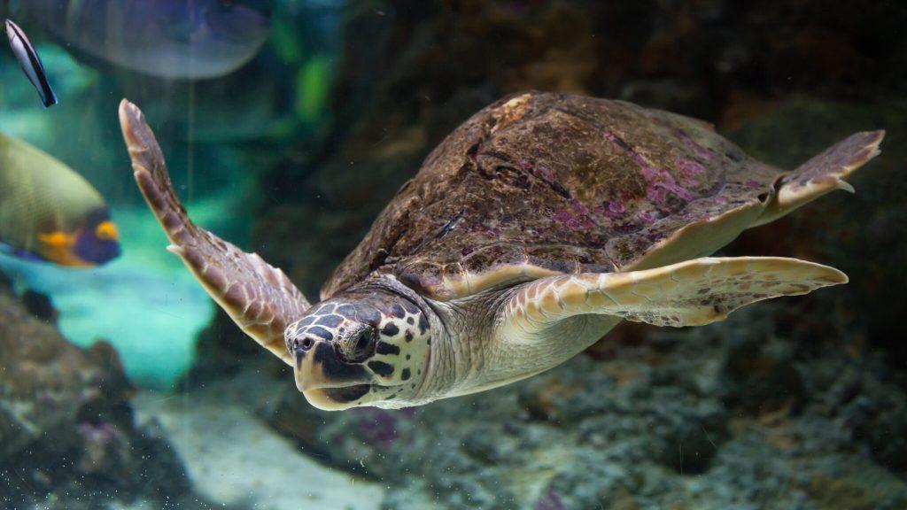 tortuga caguama salvar