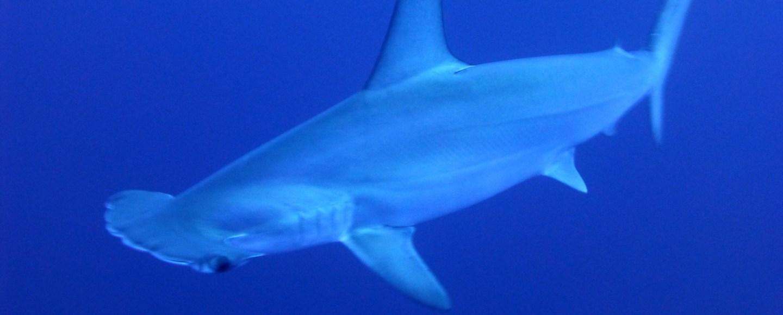 tiburón martillo en México