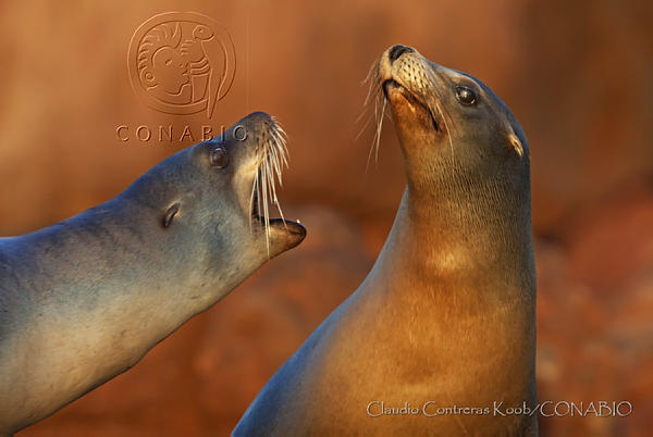 lobos marinos del Golfo de California
