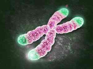 The telomeres of our DNA, visually similar to shoelace tips