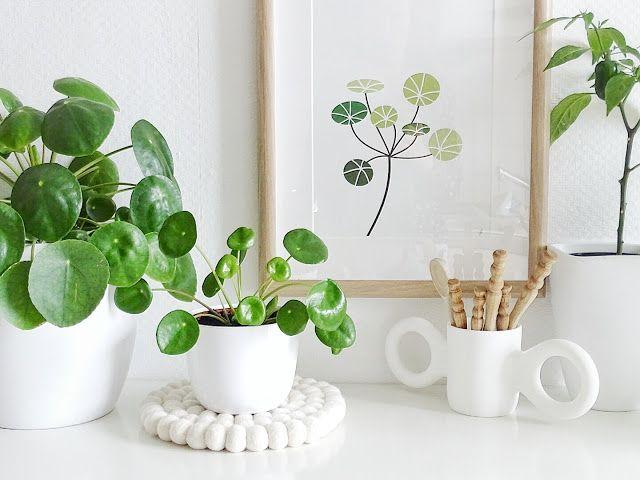 Plantas de moda: Pilea Peperomioides. Planta de moda 2017.